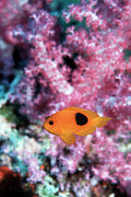 Red Sea Anemonefish Posters - Red Saddleback Anemonefish Poster by Georgette Douwma