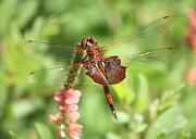 Dragonflies Art - Red Saddlebag Dragonfly in the Marsh by Carol Groenen