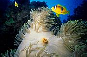 Steven Dramstad - Red Sea Anemone fish 2