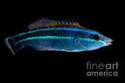 Reef Fish Posters - Red Sea Cleaner Wrasse Poster by Danté Fenolio