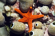 Water Filter Art - Red Seastar And Seasquirts by Georgette Douwma