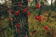 Cranberry Prints - Red Service Berries On Leafless Twigs Print by Raymond Gehman