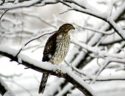 Red Shoulder Hawk Eyeing The Birdfeeder Print by L Granville Laird