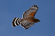 Hawk Photographs Prints - Red-shoulder Hawk Print by Paul Marto