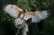 Red-shouldered Hawk Photos - Red Shouldered Hawk 2 by Wade Aiken