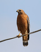 Red-shouldered Hawk . 7d10246 Print by Wingsdomain Art and Photography