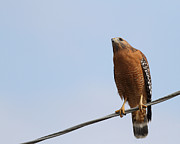 Red-shouldered Hawk . 7d10252 Print by Wingsdomain Art and Photography