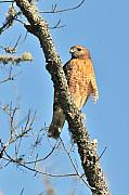 Red Shouldered Posters - Red Shouldered HawK Poster by Alan Lenk
