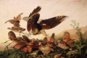 Ornithology Painting Posters - Red Shouldered Hawk Attacking Bobwhite Partridge Poster by John James Audubon