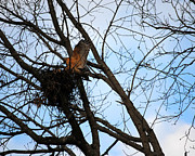 Avian Posters - Red Shouldered Hawk Building Her Nest Poster by Jai Johnson