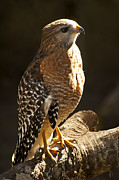 Birding Prints - Red-Shouldered Hawk Print by Carolyn Marshall
