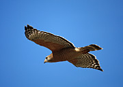 Red Shouldered Prints - Red Shouldered Hawk in Flight Print by Carol Groenen