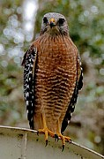 Red Shouldered Hawk Print by John Black