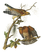 Red-shouldered Hawk Posters - Red-Shouldered Hawk Poster by John James Audubon