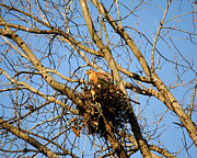 Avian Posters - Red Shouldered Hawk Sitting in Nest Poster by Jai Johnson