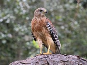 Theresa Willingham Prints - Red Shouldered Hawk Print by Theresa Willingham