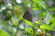 Outlook Prints - Red Spotted Purple Butterfly Print by Kathy Gibbons