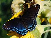 High Virginia Images Posters - Red-spotted Purple Poster by Randy Bodkins
