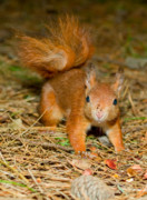 Squirrel Originals - Red Squirrel 2 by Gary Maynard