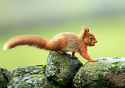 Clare Scott Prints - Red Squirrel Print by Clare Scott