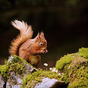 Square Tapestries Textiles - Red Squirrel Eating Nuts by BlackCatPhotos