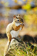 Fur Photo Posters - Red squirrel Poster by Elena Elisseeva