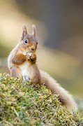Forest Floor Photos - Red Squirrel Feeding by Duncan Shaw