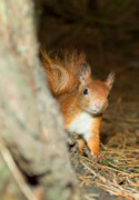 Squirrel Originals - Red Squirrel by Gary Maynard