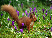 Graeme Robinson - Red Squirrel gobstopper