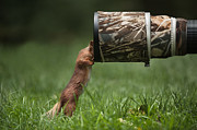 Red Squirrel Inspecting A Camera Lens. Print by Andy Astbury