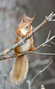Forest Floor Posters - Red Squirrel On A Branch Poster by Duncan Shaw