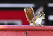Railing Photo Prints - Red squirrel on railing Print by Elena Elisseeva