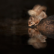 Andy Astbury Posters - Red Squirrel Reflection Poster by Andy Astbury