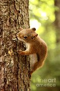 Canadian Wildlife Framed Prints - Red Squirrel Framed Print by Ted Kinsman