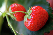 Sami Sarkis Metal Prints - Red strawberries Metal Print by Sami Sarkis