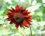 Sunflower Photos - Red Sunflower by Edward Sobuta
