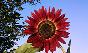 Sunflower Prints Prints - Red Sunflower Print by Sonya Priest