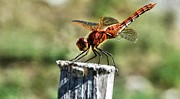 Macro Dragonfly Picture Posters - Red sunshine Poster by Don Mann