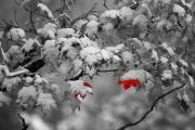 Winter Scenes Prints - Red Surprise Print by Emily Stauring