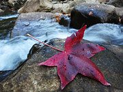 Richland Creek Wilderness Prints - Red Sweetgum Print by Matthew Parks