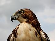 Red Tail Hawk 1 Print by David Dunham