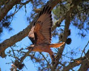 Red Tail Hawk Photo Photos - Red Tail Hawk 1 by Matthew Moore