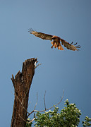 Red Tail Hawk Photographs Posters - Red Tail Hawk Poster by Diana Grant