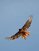 Red Tail Hawk Photographs Posters - Red Tail Hawk in Flight Poster by Diana Grant