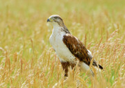 Mice Photos - Red Tail Hawk by James Steele