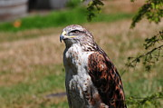 Red Tail Hawk Photographs Posters - Red Tail Hawk Poster by Ken Campbell