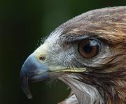 Birds Of Prey Photos - Red Tail Hawk Misted by Peter Gray