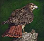 North American Wildlife Painting Posters - Red Tail Hawk Poster by Pat Erickson
