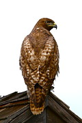 Nature Posters Prints - Red Tail Hawk Print by Paul Marto