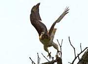 Red Tail Hawk Takeoff Print by Ron Sgrignuoli